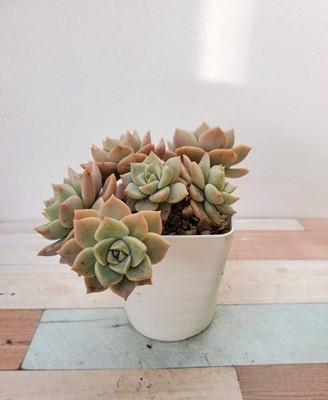 白牡丹 私の【多肉植物の育て方】