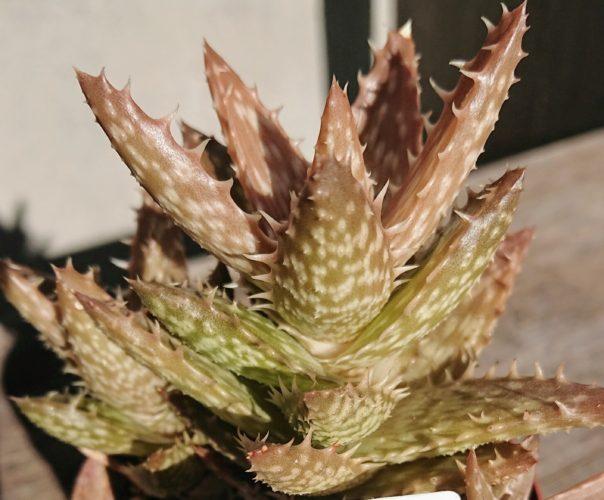 翡翠殿 私の【多肉植物の育て方】
