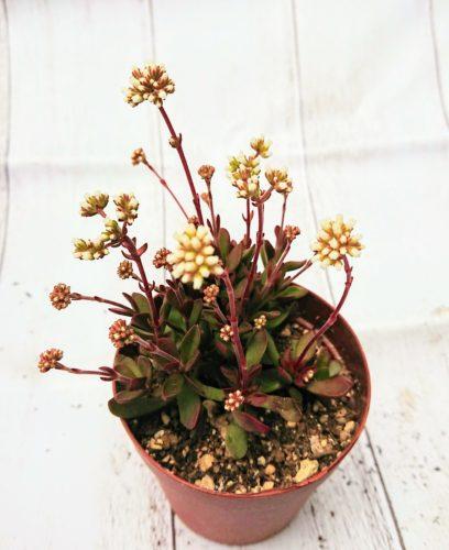 紅稚児(クラッスラ属) 私の【多肉植物の育て方】