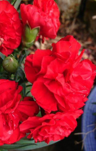 母の日のカーネーションを来年も咲かせたい