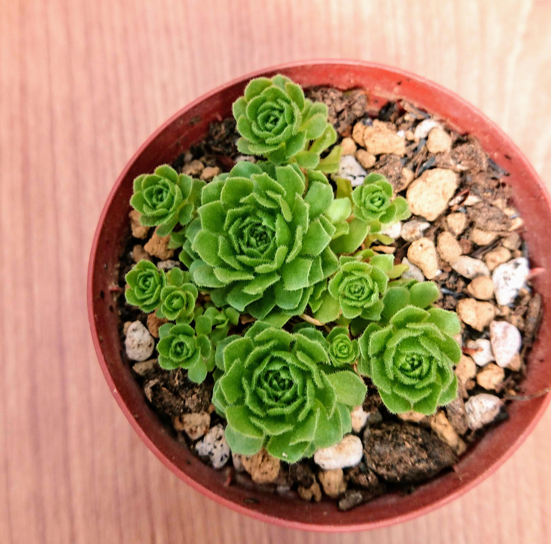 プラティフィラ 私の【多肉植物の育て方】