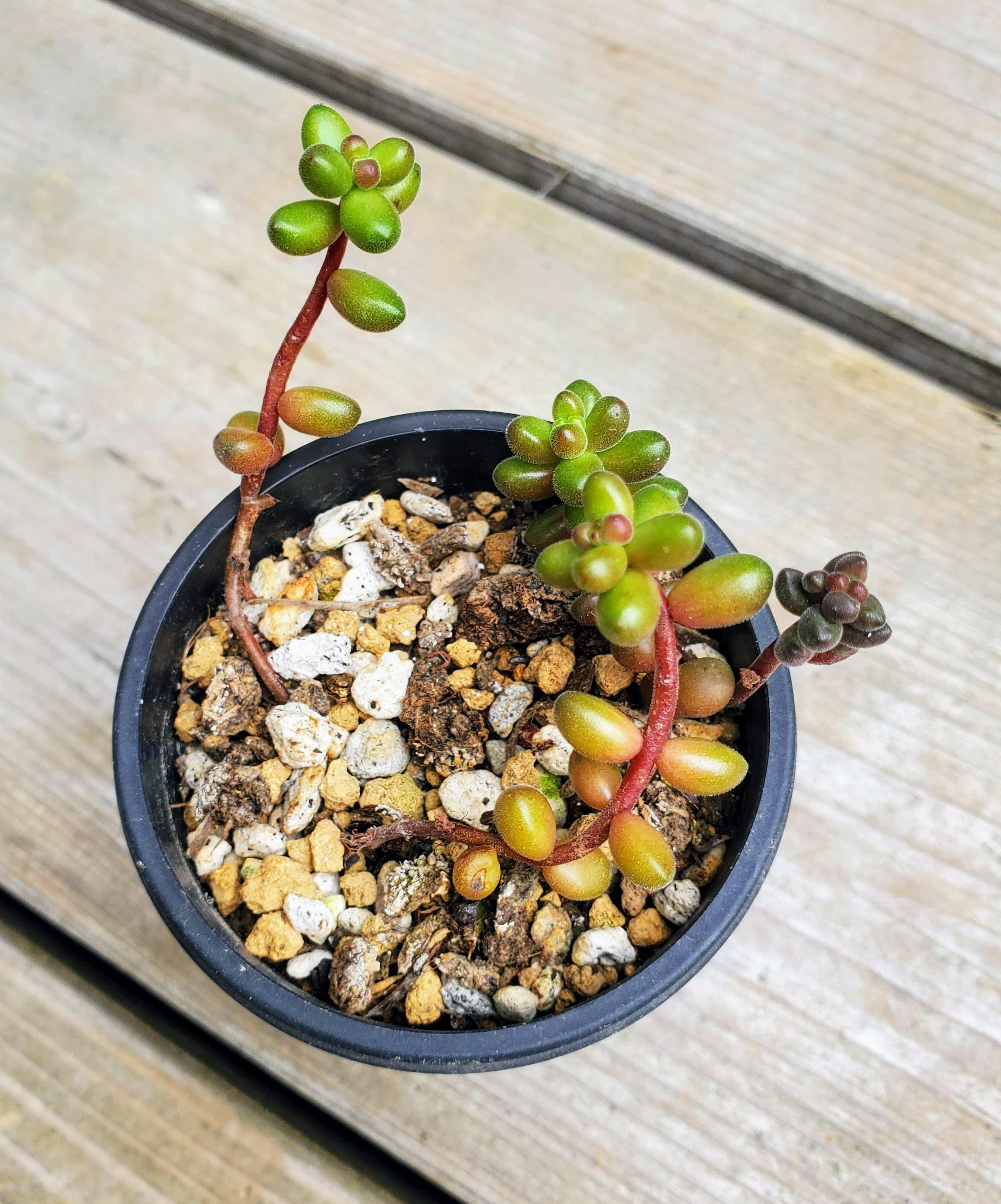 玉葉 私の【多肉植物の育て方】