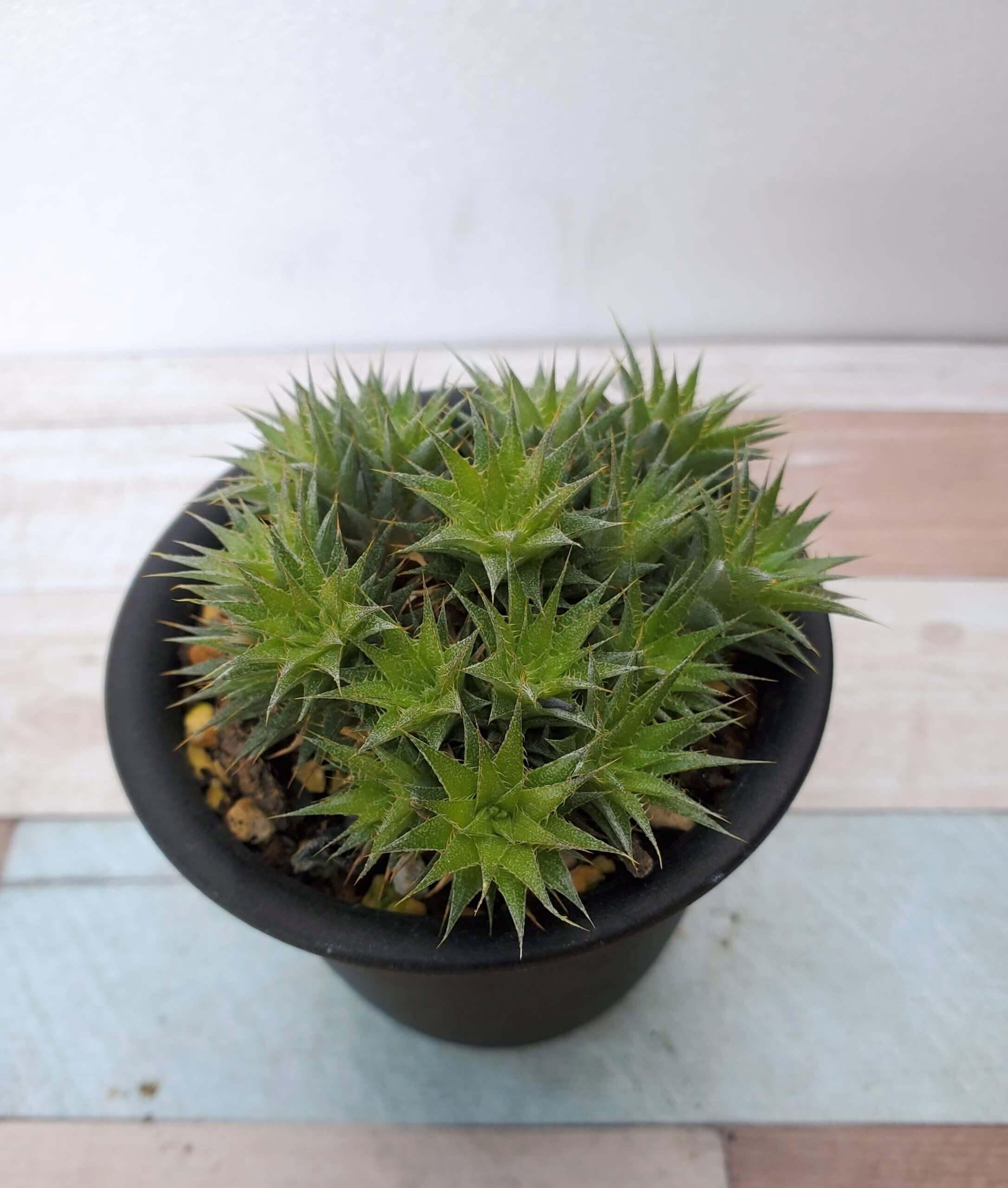 デウテロコニア ブレビフォリア ssp. クロランサ 私の【多肉植物の育て方】